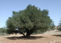 アルガンツリーってどんな樹?